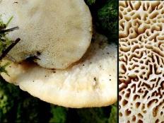 Климакоцистис северный (Climacocystis borealis)