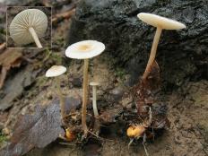 Коллибия клубневая (Collybia tuberosa)