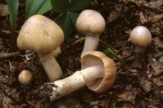 Розитес тусклый (Rozites caperata)