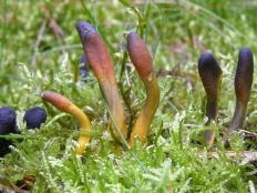 Кордицепс офиоглоссовидный (Cordyceps ophioglossoides)