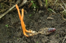Кордицепс военный (Cordyceps militaris)