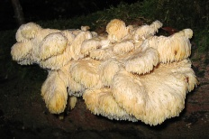 Креолофус усиковый (Creolophus cirrhatus)