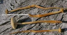 Ксерула длинноногая (Xerula longipes)
