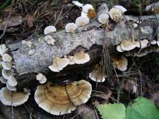 Лензитес берёзовый (Lenzites betulina)