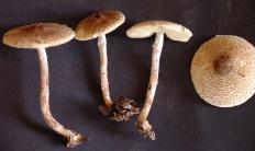 Лепиота ядовитая (Lepiota helveola)
