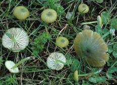 Лептония седоватая (Entoloma incanum)