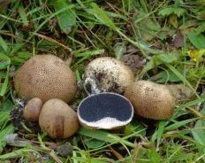 Ложнодождевик пятнистый (Scleroderma areolatum)