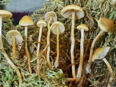 Ложноопёнок длинноногий (Hypholoma elongatum)