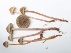 Ложноопёнок моховой (Hypholoma polytrichi)