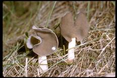 Лопастник упругий (Helvella elastica)