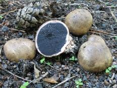 Ложнодождевик бородавчатый (Scleroderma verrucosum)