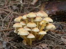 Опёнок серно-жёлтый (Hypholoma fasciculare)