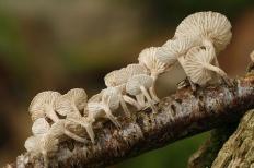 Маразмиеллюс веточный (Marasmiellus ramealis)