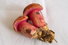Масленок рубиновый (Suillus rubinus)
