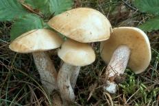 Маслёнок белый (Suillus placidus)