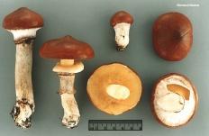 Маслёнок настоящий (Suillus luteus)