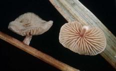 Меланотус филлипса (Melanotus phillipsii)
