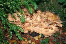 Мерипилус гигантский (Meripilus giganteus)