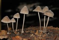 Мицена наклонённая (Mycena inclinata)