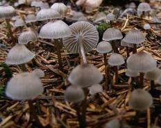 Мицена обыкновенная (Mycena vulgaris)