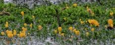 Митрула болотная (Mitrula paludosa)