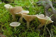 Млечник ароматный (Lactarius glyciosmus)
