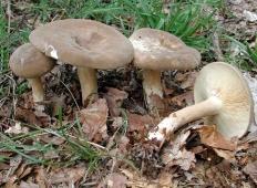 Млечник буроватый (Lactarius fuliginosus)