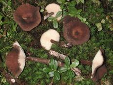 Млечник бурый (Lactarius lignyotus)