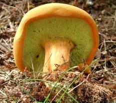 Моховик древесный (Buchwaldoboletus lignicola)