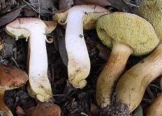 Моховик моравский (Xerocomus moravicus)