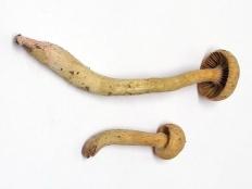 Мокруха войлочная (Chroogomphus tomentosus)