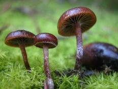 Псилоцибе Монтана (Psilocybe montana)