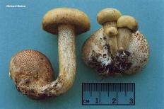 Моховик паразитирующий (Xerocomus parasiticus)
