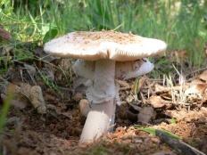 Мухомор белый (Мухомор весенний) (Amanita verna)