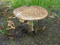 Мухомор пантерный (Amanita pantherina)