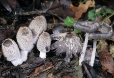 Навозник волосистоногий (Coprinus lagopus)