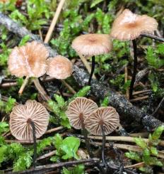 Негниючник тычинковый (Marasmius androsaceus)