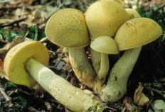 Обабок чернеющий (Leccinum crocipodium)