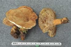 Онния войлочная (Onnia tomentosa)