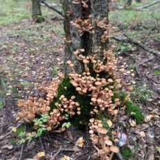 Опёнок настоящий (Armillaria mellea)