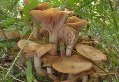 Опёнок ссыхающийся (Armillaria tabescens)