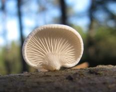 Панеллюс мягкий (Panellus mitis)