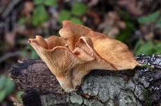 Панус уховидный (Panus conchatus)