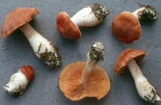 Паутинник оранжевый (Cortinarius armeniacus)