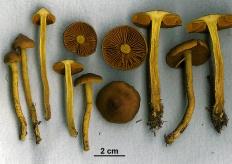 Паутинник шафрановый (Cortinarius croceus)