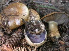 Паутинник сизоножковый (Cortinarius glaucopus)