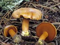 Перечный гриб (Chalciporus piperatus)