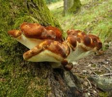 Пиптопорус дубовый (Трутовик дубовый) (Piptoporus quercinus)