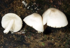 Плютей благородный (Pluteus petasatus)