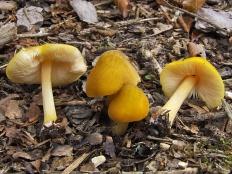 Плютей львино-жёлтый (Pluteus leoninus)
